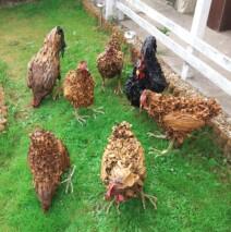 Outdoor/Indoor Chicken Sculptures